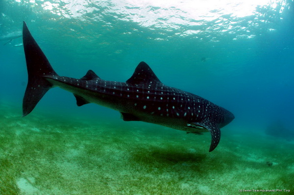 whale shark on dive safari in the philippines